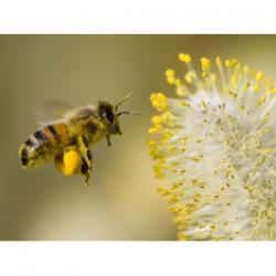 Extrait concentré de pollen...