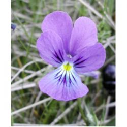 Extrait concentré de violette