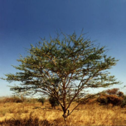 Gomme d'acacia ou arabique