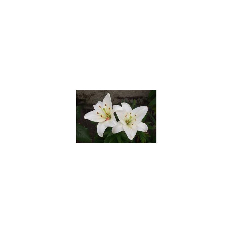 Macérat huileux de lys blanc