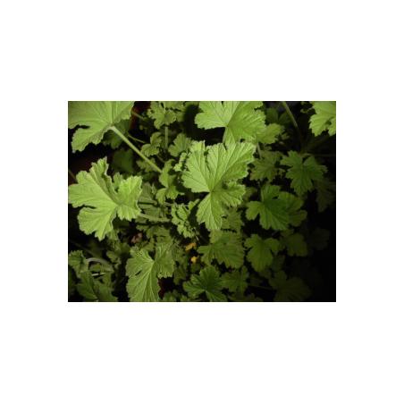 Macérat précieux de géranium rosat/argan