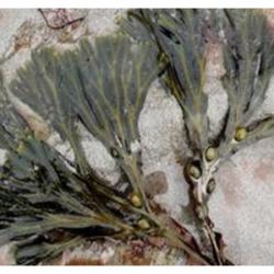 Macérat huileux d'algues