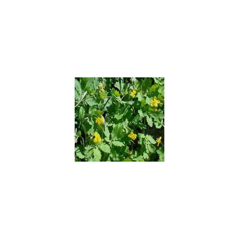 Macérat vinaigré de chelidoine du jardin