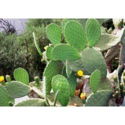 Extrait concentré de cactus...