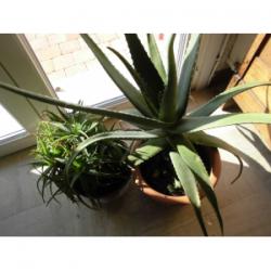 Beurre essentiel des Aloes