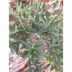 hydrolat de feuilles...