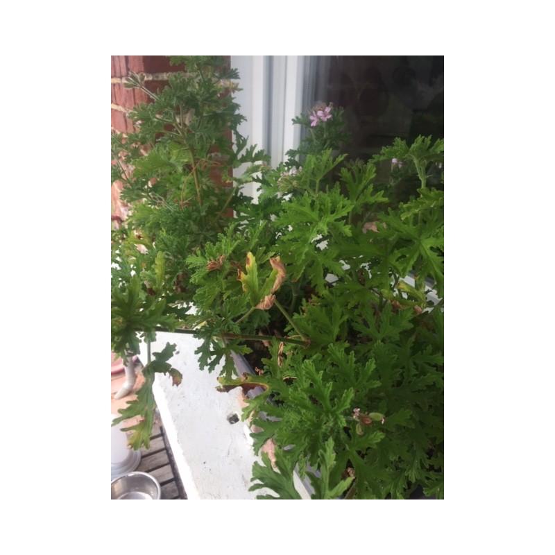Extrait concentré de géranium rosat du jardin