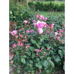 Fragrance Rose nature